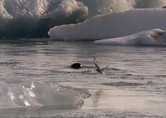 Charrn y foca en Jkulsrln (Lou Rouge) Tags: naturaleza ice nature birds animals flying iceland islandia wildlife floating seal animales glaciar icebergs foca jkulsrln glaciares glacierlagoon 2015 charrn arctictern lagunaglaciar charranes