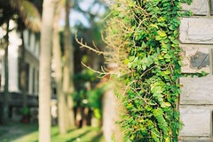 Stay.. (NACE (Bree.H)) Tags: sunlight green leaves sunshine yellow canon 50mm branch stones vietnam fujifilm walls filmphoto filmisnotdead fujicolor100