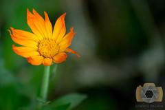 untitled-13.jpg (EGM2002) Tags: flowers canon garden eos is usm ef 70200mm ef70200mm f4l canonef70200mmf4lisusm canon7dmkii 7dmkii canoneos7dmkii