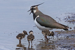 LAPWINGS / THE SCRAPE / SANDWICH BAY /  KENT / U.K (Tom Webzell) Tags: naturethroughthelens