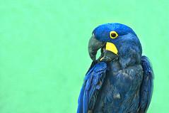 Bronx Zoo Parrot (bobrizz1) Tags: bronxzoo 1001nights 1001nightsmagiccity greatshotss magicmomentsinyourlifelevel1 magicmomentsinyourlifelevel2 magicmomentsinyourlifelevel3 magicmomentsinyourlifelevel4 vividstriking thebestofmimamorsgroups