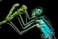 "Caballito del diablo ""Odonata fabricius"" (alimoche67) Tags: barcelona espaa macro sony flash alpha catalua naturaeza josejurado"