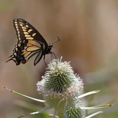 7D2_2546.DPP.Comp2048 (SF_HDV) Tags: california flower butterfly marincounty wildflower swallowtailbutterfly martasmarsh 7dmarkii canon7dmarkii canon7dmark2 7dm2 7dmark2