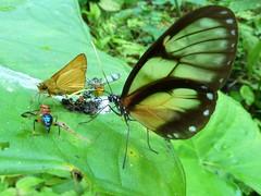 Glasswing Butterfly (Ecuador Megadiverso) Tags: naturaleza macro southamerica nature fauna butterfly ecuador wildlife natur lepidoptera papillon inseto borboleta equateur makro mariposa arthropoda farfalla insetto insecte schmetterling equador biodiversity arthropod insecto insecta biodiversidad équateur südamerika clearwing neotropical neotropics taxonomy:class=insecta taxonomy:order=lepidoptera ผีเสื้อและแมลงเม่า الفراشاتوالعث 蝶と蛾 蝴蝶和飞蛾 蝴蝶和飛蛾 andreaskay