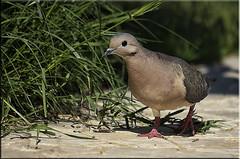 A pigeon - Una paloma (Nstor Pugliese) Tags: bird pigeon paloma pjaro peregrino27life