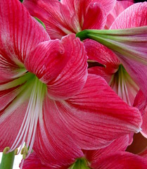 Faro (Puzzler4879) Tags: pink brooklyn faro ngc amaryllis bbg brooklynbotanicgarden pointshoot botanicgardens canonpowershot pinkflowers canondigital canonaseries floralfantasy canonphotography wonderfulphotos mixedflowers perfectpetals photogarden canonpointshoot pinkamaryllis flowersarebeautiful a580 floraandfaunaoftheworld macroelsalvador excellentsflowers exquisiteflowers mimamorflowers canona580 canonpowershota580 powershota580 flickrflorescloseupmacros thebestofmimamorsgroups unforgettableflowers naturewithallitswonders weloveallflowers esenciadelanaturaleza level1photographyforrecreation amaryllisfaro