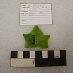 "<b>1981.13PK53.25.7</b><br/> Plastic; Leaf, Terrace Hill<a href=""http://farm8.static.flickr.com/7058/6795295084_f4f7cd162b_o.jpg"" title=""High res"">∝</a>"
