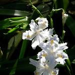 #7063 crested/fringed iris (シャガ・コチョウカ) thumbnail