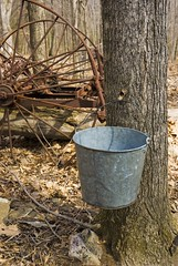 Tapping sugar maple trees to make maple syrup at Eagle's Sugar Camp. (dkjphoto) Tags: usa tree america virginia maple unitedstates syrup mountvernon highlandcounty dennisjohnson eaglessugarcamp wwwdenniskjohnsoncom