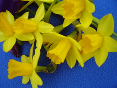 Mar 2012 473 Narcissi (monica_meeneghan) Tags: flowers winter nature petals colorsoftheheart mamasbloomers monicameeneghan