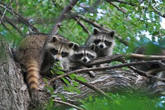 "08. Raccoons • <a style=""font-size:0.8em;"" href=""http://www.flickr.com/photos/69404818@N05/6849868913/"" target=""_blank"">View on Flickr</a>"