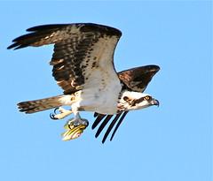 Hitchhiking Is Never A Good Idea! ( BKD Photography ) Tags: osprey flickraward mygearandme onlythebestofnature allnaturesparadise