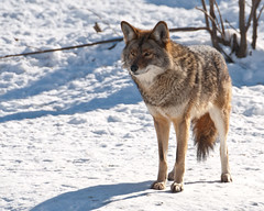 Coyote (mrpolyonymous) Tags: coyote snow intense parcomega