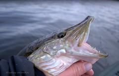 Ultimate predator (Nicolas Valentin) Tags: scotland fishing release free catch pike lochlomond brochet kayakfishing