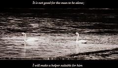 Genesis 2:18 (@}ARosePhotos~~) Tags: love swan marriage spouse creation swans devotion bible scripture verse godsword