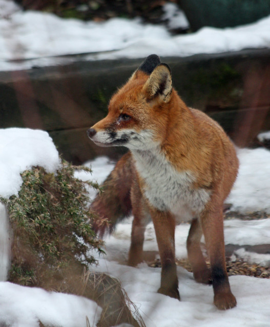 Redhill Wildlife Centre - Feb 2012 - Mr. Fox Shows His Profile