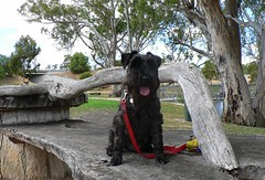 Giles and I have been on the road again... (The Pocket Rocket) Tags: giles miniatureschnauzer bordertown southaustralia