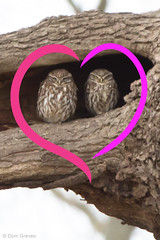 Together At Last (Dom Greves) Tags: uk winter tree bird oak wildlife pair surrey perched february valentinesday littleowl athenenoctua