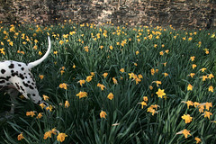101 Daffodils by E.Yelsel -