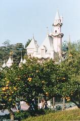 Orange trees at Disneyland, again (Trader Chris) Tags: trees disneyland citrus oranges orangecounty anaheim sleepingbeautyscastle