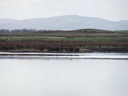 Two herons - view from the Carden Hide - Loch Leven, Vane Farm Nature Reserve, Scotland