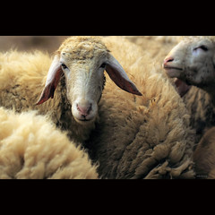 How to Count Sheep? :)) (-clicking-) Tags: lighting light nature animal sheep natural ngc vietnam npc lamb noahsark colorphotoaward magicunicornmasterpiece asquaresuperstarstemple highqualityanimals