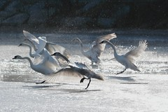 The story behind (Ali Gardener) Tags: swan swanlake cygne cisne cigno labut cyne lelacdescygnes