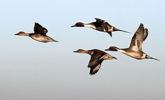 4 PINTAILS (SNAPDECISIONS !) Tags: wildlife avian pintail wildbirds britishbirds birdphotos birdsofthebritishisles snapdecisions theworldofbirds birdsofbritonandeurope