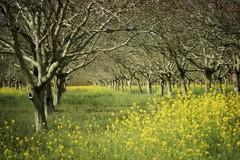 (Msjunior- slowly catching up) Tags: walnut nocal orchards magicunicornverybest magicunicornmasterpiece sorryimfloodingyouwithorchards pressthel yepanotherorchard iwillbepostingalotthroughspring somemacrostoo