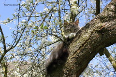 Davide on the plum tree! (Xena*best friend*) Tags: wood wild italy pet cats pets animals fur chats spring furry woods feline flickr king tiger kitty kittens whiskers piemonte gato calico purr paws davide gatto katzen pussycat markings plumtree feral wildanimals blueeyedcats allrightsreserved alleycatallies agedcats catsontrees piedmontitaly canonef70300mm canoneos500d eosrebelt1i