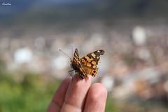 Mariposa ii (Fernando Lecaros) Tags: peru fly cusco andes mariposa insecto qosqo