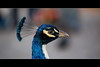 "Pfau (Pinky0173 (thrun-fotografie.de)) Tags: blue bird canon wow tiere natur blau vogel pfau wow1 wow2 wow3 wow4 ef70200 eos5d ""flickraward"" mygearandme mygearandmepremium mygearandmebronze mygearandmesilver dblringexcellence tplringexcellence bestofblinkwinners flickrstruereflection1 flickrstruereflection2 eltringexcellence"