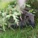 Hedgehog  NottsWT (cpt Steve Plume wwwDOTukwildlifeDOTmeDOTuk)