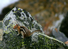 Got lunch? (RPahre) Tags: tetons inspirationpoint grandtetonnationalpark goldenmantledgroundsquirrel