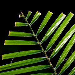 The palm (Deb Jones1) Tags: macro green nature beauty leaves canon garden botanical outdoors leaf australia palm flickrduel debjones1