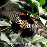 Papilio  memnon * Mariposa cola de golondrina thumbnail