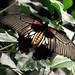Papilio  memnon * Mariposa cola de golondrina