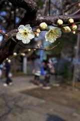 Plum Blossom (kura51) Tags: march spring tokyotower shiba ume 2012 5dmarkii
