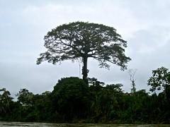 arbol (guillofernando) Tags: rio ecuador selva oriente napo loreto amazonia orellana limoncocha
