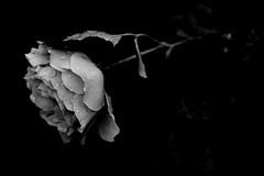 always thinking about you #34 (reinetor) Tags: street light bw white black flower macro rose japan closeup canon lens eos dof bokeh 5d f28 raindrop 薔薇 mark2 白黒 shallowfocus ef100 alwaysthinkingaboutyou