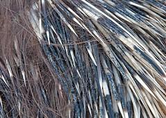 (Flavio Piffer) Tags: texture dead pattern country campagna morte deadanimal carne animale zampe carcassa istrice putrefazione animalemorto