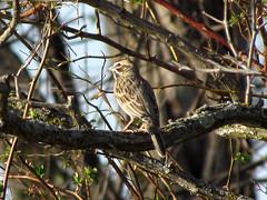 Lark Sparrow (zxgirl) Tags: bird birds animal animals virginia aves sparrow va sparrows animalia vagrant larksparrow emberizidae passeriformes chordata chondestesgrammacus chondestes fishersville lasp img6355 sx30