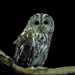 Tawny Owl NottsWT (cpt Darin Smith)