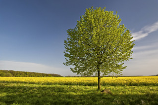 Tree and Rape Field 2