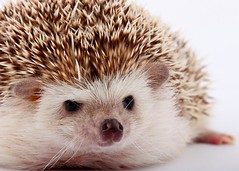 The Hedgehog (JebbiePix) Tags: pet macro cute animal closeup critter whiskers hedgehog spikes quills thegalaxy