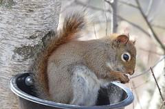 Un Écureuil Brun en Train De Manger Dans Une Mangeoire. (Sandbanks Pro) Tags: canada tree nature animal squirrel quebec granby arbre écureuil faune interprétation