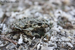 Pelodytes punctatus II (David Herrero Glez.) Tags: madrid frog toad amphibians rana común anfibios iberico punctatus sapillo anuros pelodytes moteado alytes