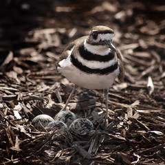 killdeer & her eggs. (amy buxton) Tags: bird birds spring nest killdeer eggs speckled fineartphotography charadriusvociferus amybuxton