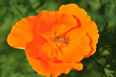 California poppy and bee