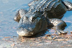 Sanibel Trip - April 2012 - Gators in the Refuge